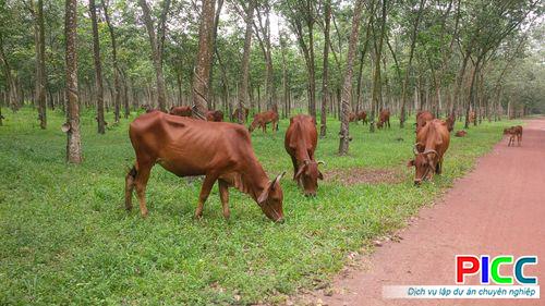 Chăn nuôi bò kết hợp trồng rừng - Quảng Bình