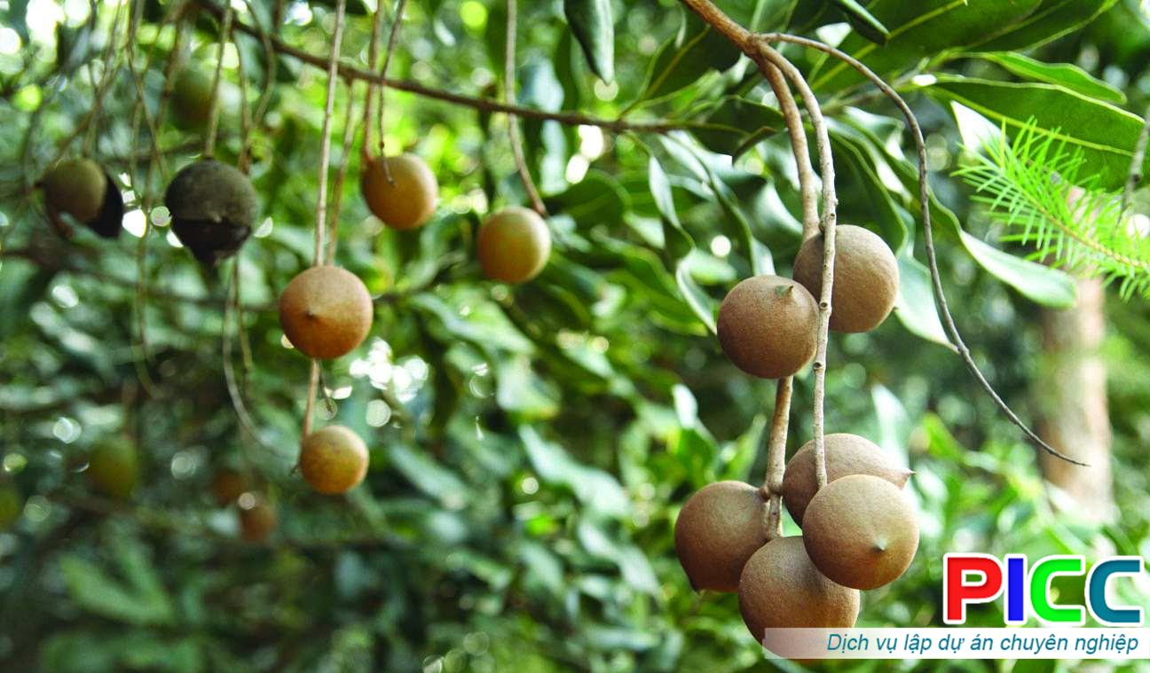 Đầu tư phát triển vùng nguyên liệu macca tại Lạng Sơn
