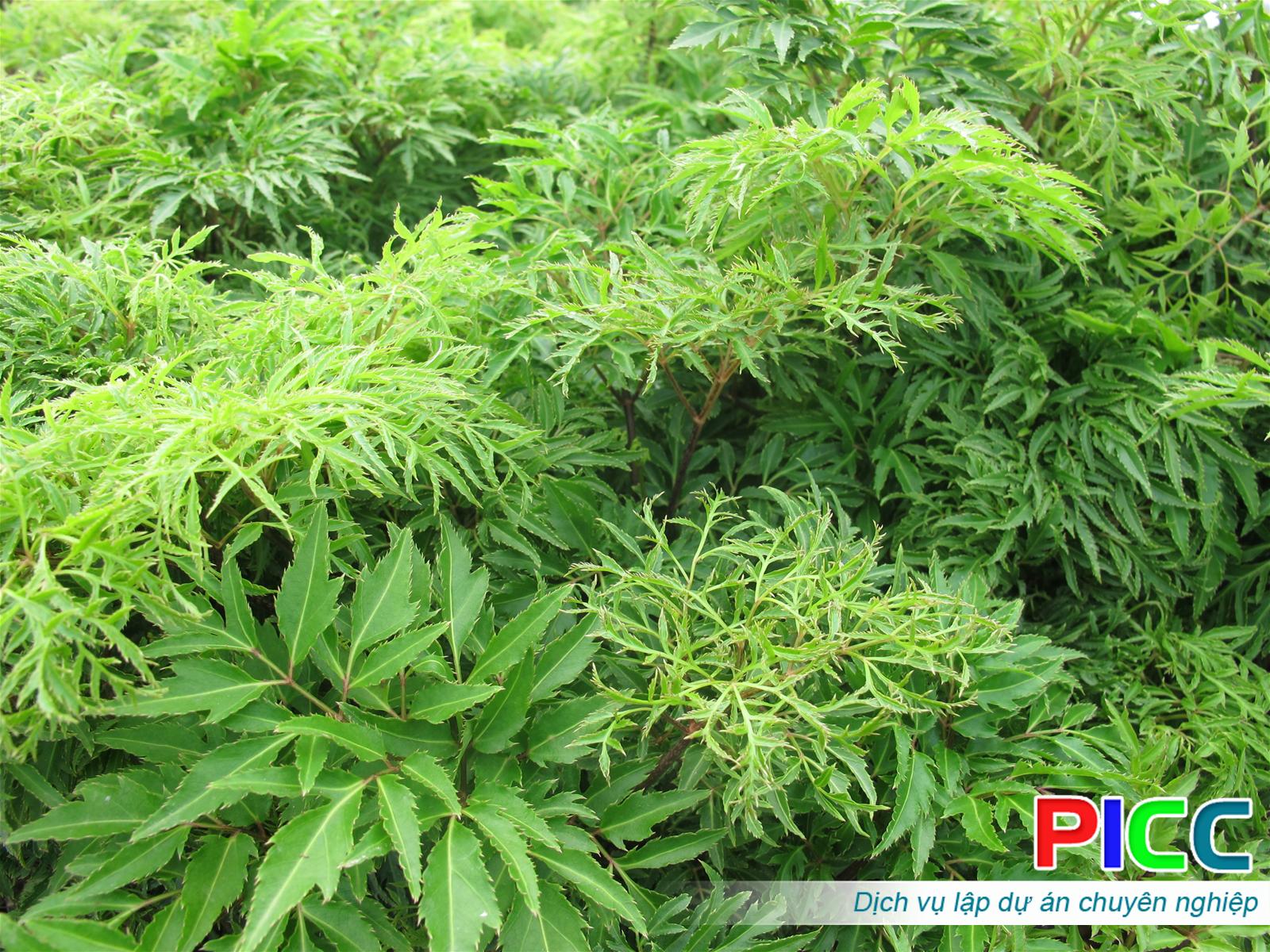 Dự án cải tạo rừng nghèo trồng cây dược liệu