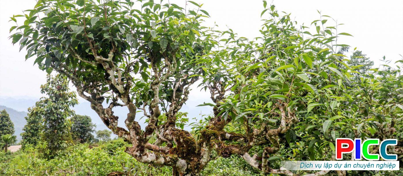 Dự án Nghiên cứu sản xuất và phát triển sản phẩm Trà hoa Shan tuyết cổ thụ núi Tây Côn Lĩnh Hà Giang