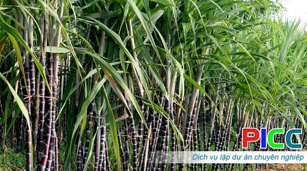 Dự án sản xuất giống mía – Bộ Nông nghiệp và PTNT