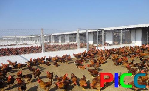 Dự án trang trại nuôi gà