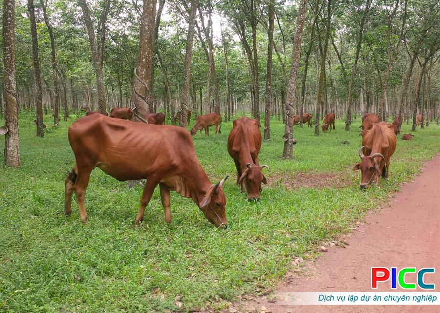 Dự án trồng cao su kết hợp chăn nuôi công nghệ mới tỉnh Lâm Đồng