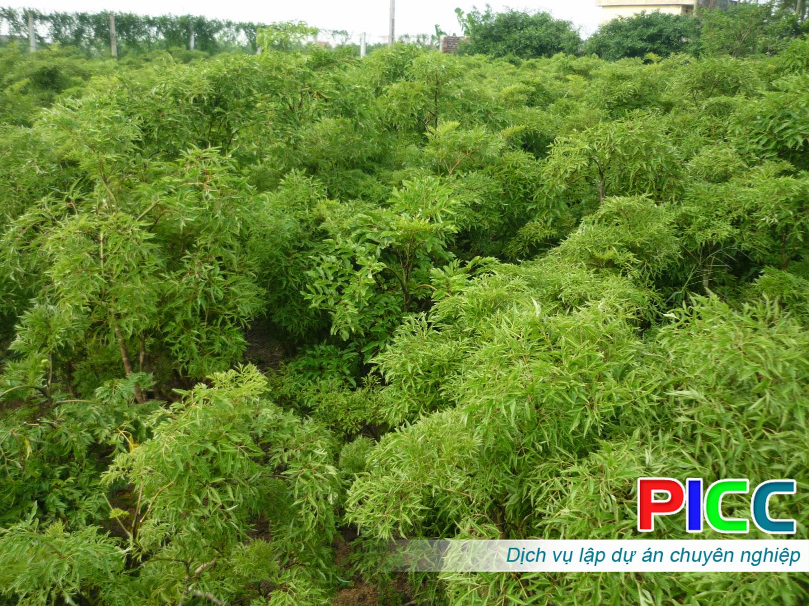 Dự án trồng cây dược liệu Đinh Lăng kết hợp