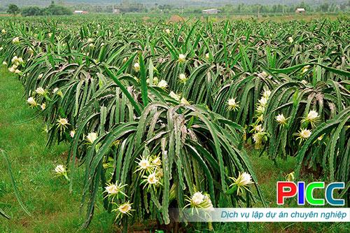 Dự án trồng cây thanh long tỉnh Bình Thuận