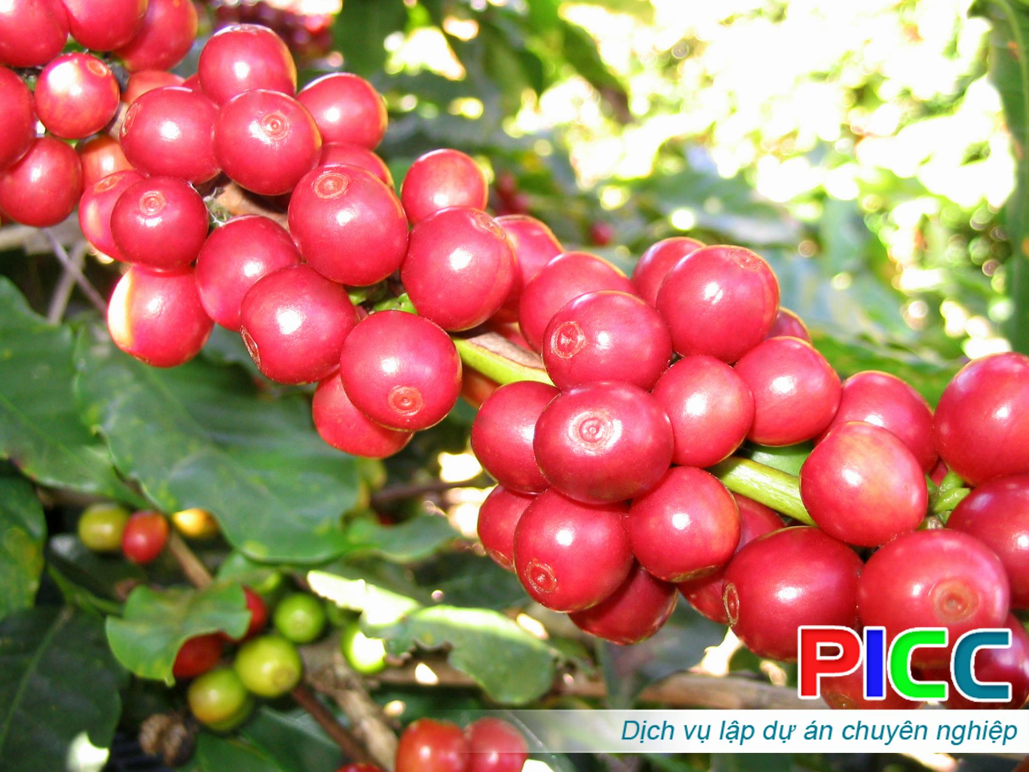 Dự án Trồng Hồ tiêu và Cà phê xuất khẩu ứng dụng công nghệ cao
