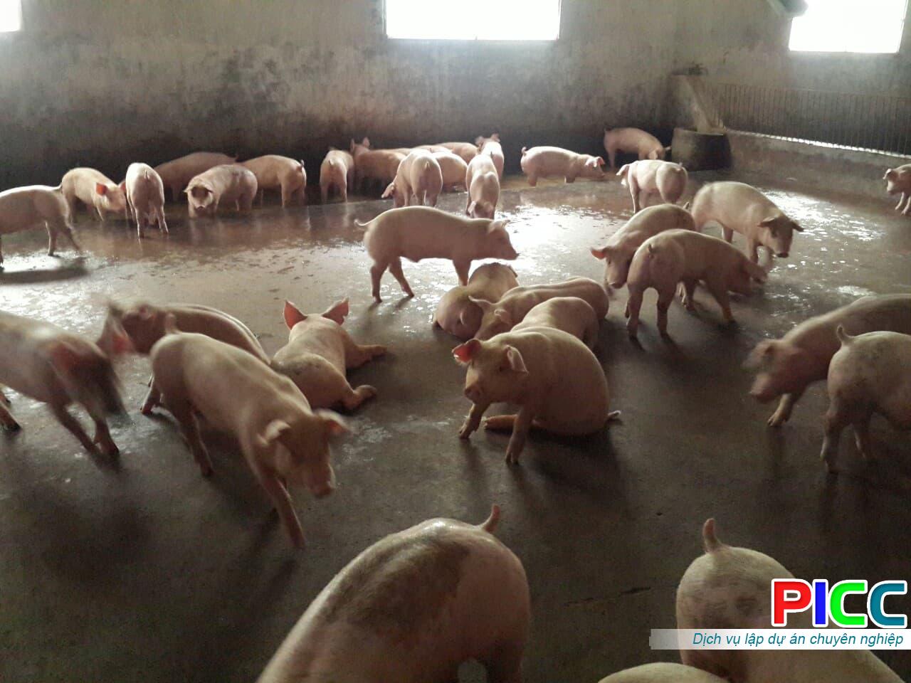 Mô hình liên kết chăn nuôi gia công heo thịt tại xã Đắk R