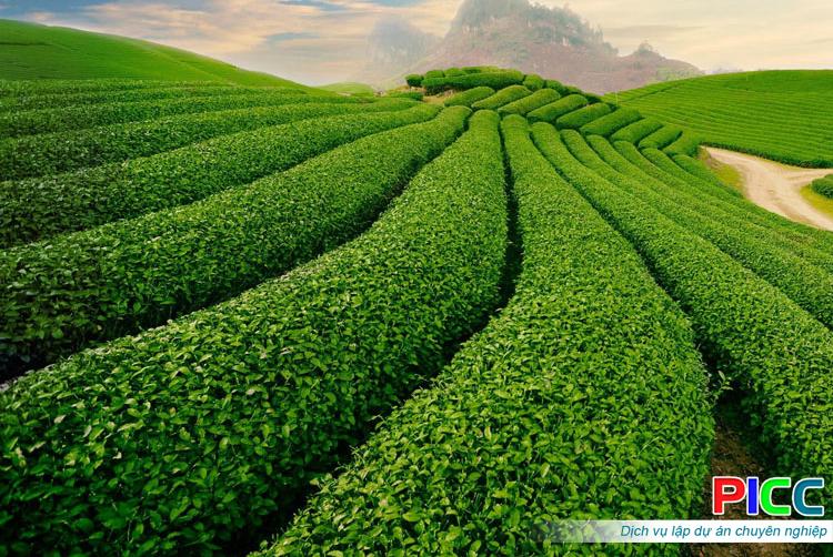 Mô hình liên kết sản xuất Chè Matcha và các sản phẩm chè xuất khẩu
