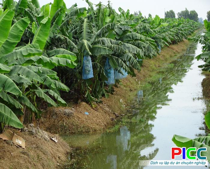 Dự án trồng chuối cấy mô công nghệ cao theo chuỗi giá trị tại An Giang
