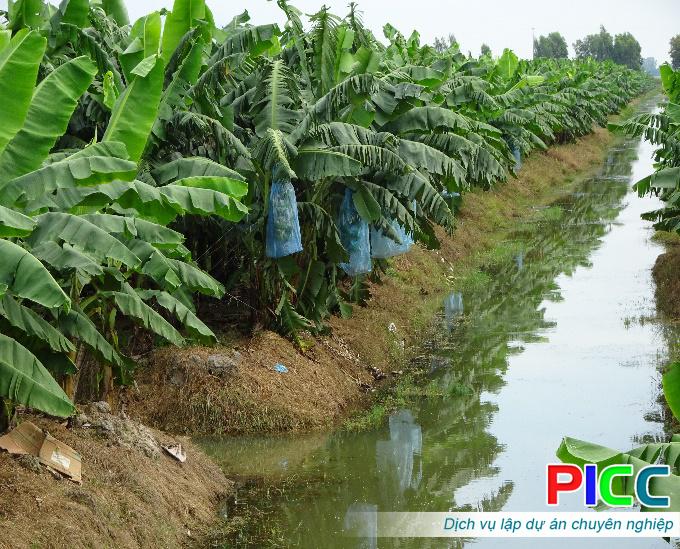 Mô hình trồng chuối cấy mô công nghệ cao theo chuỗi giá trị tại An Giang