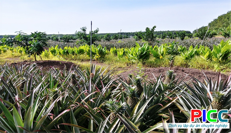 Mô hình trồng Dứa Queen xen canh với Bưởi da xanh tại huyện Tân Biên, tỉnh Tây Ninh
