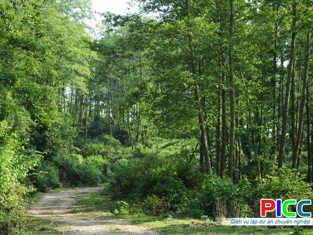 Rừng keo trồng kết hợp cây đinh lăng dưới tán rừng - Hà Giang