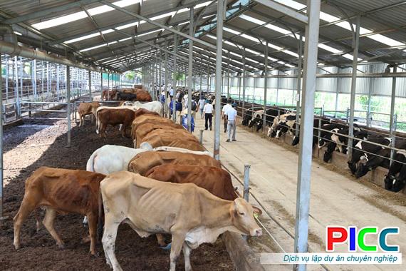Trang trại nuôi bò Mỹ Chánh tỉnh Trà Vinh