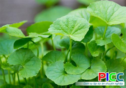Trồng rau má hữu cơ tại Thanh Hóa