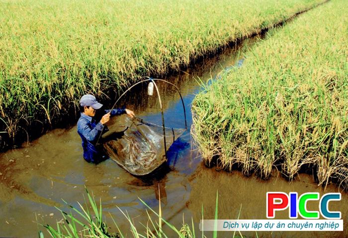 Tư vấn lập dự án Trồng lúa và nuôi tôm theo hướng Organic tỉnh Kiên Giang