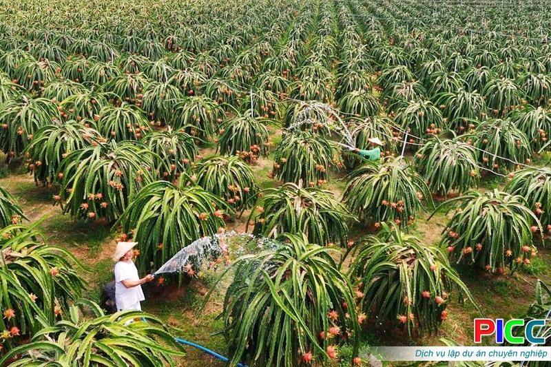 Xây dựng vùng trồng thanh long chuyên canh tại Bình Định